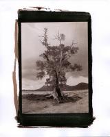 cazneaux-tree