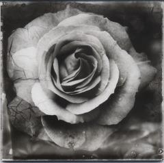 rosetwenty2000